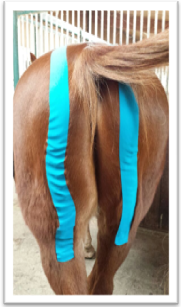 kinesiology tape on horses rear end